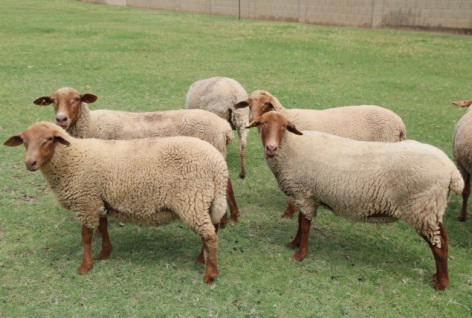 Lamb Meat - Cinnamon Roost Farm